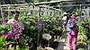 Làng hoa Chợ Lách và Sa Đéc vào vụ