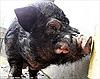 Lợn rừng siêu xấu xí