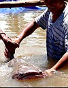 Bắt được cá tra dầu khổng lồ trên sông Hậu