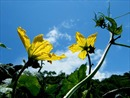 Hoa mướp vàng