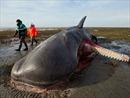 Cá nhà táng chết hàng loạt ở Biển Bắc