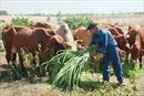 Thoát nghèo bền vững nhờ nuôi bò lai