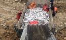 Cá hồi Sa Pa chết hàng loạt chưa rõ nguyên nhân