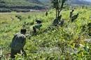 Chăm 30 hecta rừng, thu nhập trên 100 triệu đồng/năm