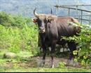 Bò tót 800 kg lao thẳng vào ô tô tải tại Vườn Quốc gia Chư Mon Ray chết tại chỗ