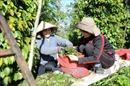 Tăng tiền công 30%, nhà vườn Bình Phước vẫn khốn đốn vì thiếu lao động thu hoạch hồ tiêu