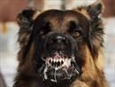 Chuyên gia Mỹ dạy cách ứng phó khi bị chó dữ tấn công