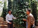 Đắk Nông phòng chống dịch bệnh hại trên cây điều