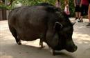 Kỳ lạ chú lợn giống Việt Nam ở Mỹ hiểu tiếng Anh và Tây Ban Nha