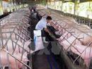 Cấp bách 'giải cứu' các hộ chăn nuôi