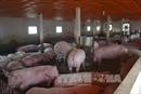 Gấp rút 'cứu' đàn lợn tồn trong dân
