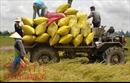 Tin vui cho nhà nông khi nhiều đối tác nhập khẩu gạo truyền thống đã quay trở lại