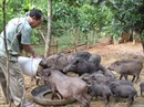Phản hồi về việc giá lợn giống trong dự án giảm nghèo tại Điện Biên cao bất thường