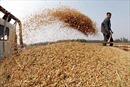 Triều Tiên tăng mạnh nhập khẩu ngũ cốc từ Trung Quốc