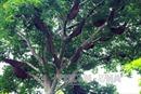 Độc đáo 'cây thần' và luật tục bảo vệ rừng của người Thái ở Điện Biên