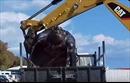 Xem video dọn xác rùa khổng lồ dài 2m bằng máy xúc
