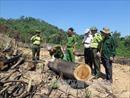 Bình Định: Bắt tạm giam 2 hai nghi phạm hủy hoại rừng