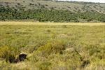 Mèo rừng châu Phi vờn bắt chuột