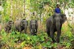 Bảo tồn voi ở Đắk Lắk
