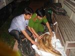 Quảng Ninh thu giữ 243,7 kg ngà voi vận chuyển trái phép