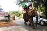 Voi nhà Đắk Lắk có nguy cơ tuyệt chủng