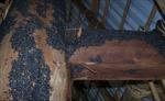 Bọ đậu đen xuất hiện nhiều tại Đồng Nai