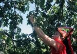 Ngày hội hái quả ở Mộc Châu