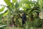 Huyện Cao Lộc lao đao vì cây trồng không phù hợp