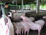 Mô hình chăn nuôi giúp phụ nữ thoát nghèo