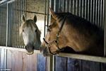 Ngựa có thể giao tiếp bằng mắt và tai