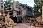 Bắt giữ vụ vận chuyển gỗ trái phép quy mô lớn