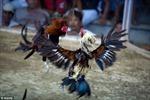 Bắt 94 đối tượng chọi gà ăn tiền tại Nghệ An