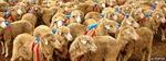 Hai nguyên tắc đơn giản giúp chó chăn cừu