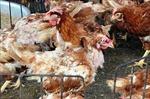 Lào Cai phong tỏa chặt chẽ điểm phát sinh dịch cúm AH5N6