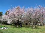 Canberra vào xuân