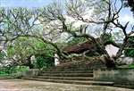 Công nhận hai cây đại là cây Di sản Việt Nam