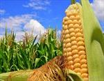 Giá lương thực thấp nhất trong 4 năm
