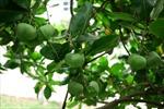 Ươm cây bàng vuông trên đảo Lý Sơn