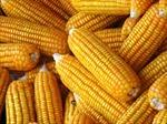 """Cây  trồng biến đổi gen không còn là """"ngáo ộp"""""""