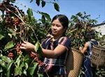 Các tỉnh Tây Nguyên chủ động thu hoạch cà phê