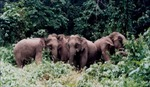 Hà Tĩnh: Đẩy đuổi và bảo vệ voi rừng