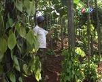 Hoang mang vì cây tiêu bị phá hoại