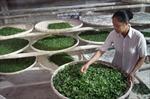 Làm giàu nhờ trồng dâu nuôi tằm