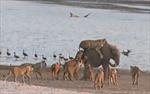 Voi con dũng cảm đương đầu với 14 con sư tử