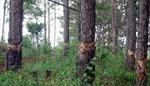 Đắk Nông: 500 cây thông cảnh quan chết vì hóa chất đầu độc