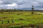 Những cây thuỷ tùng nguy cơ tuyệt chủng sót lại ở Việt Nam