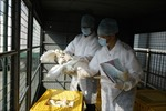 Tái xuất hiện các ổ dịch cúm gia cầm ở Hà Lan, Anh