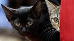 Ăn thịt 'tiểu hổ' bị lên án tại Thụy Sĩ