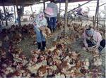 Nghi khai khống số gà chết để nhận tiền đền bù