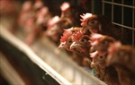 Thêm trang trại bị cách ly vì cúm gia cầm tại Canada